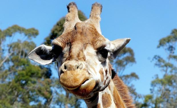 giraffe mama.jpg